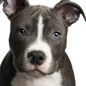CLAW Working to End Pit Bull Ban